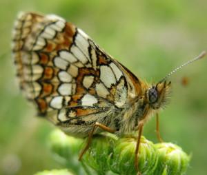 Melitaea-athalia(valerie-coudrain)
