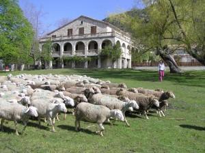 Les Courmettes, avec les moutons